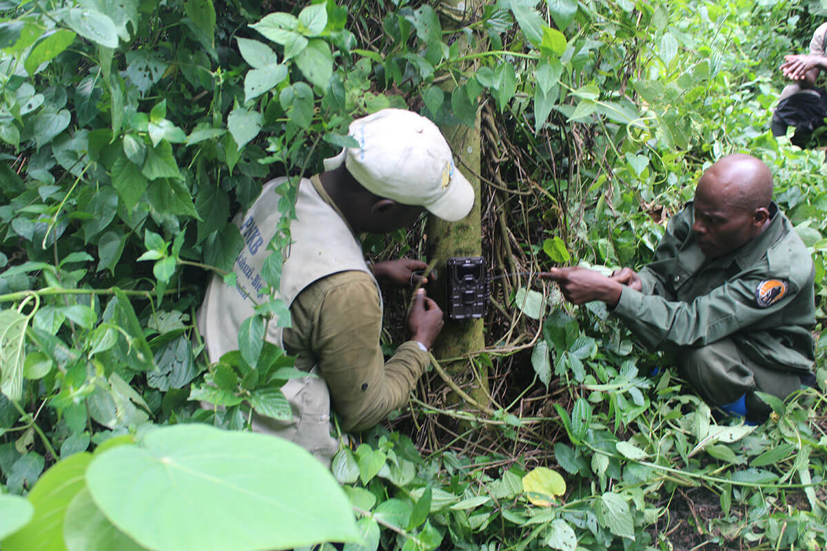 Installation of camera traps in Kahuzi-Biega National Park