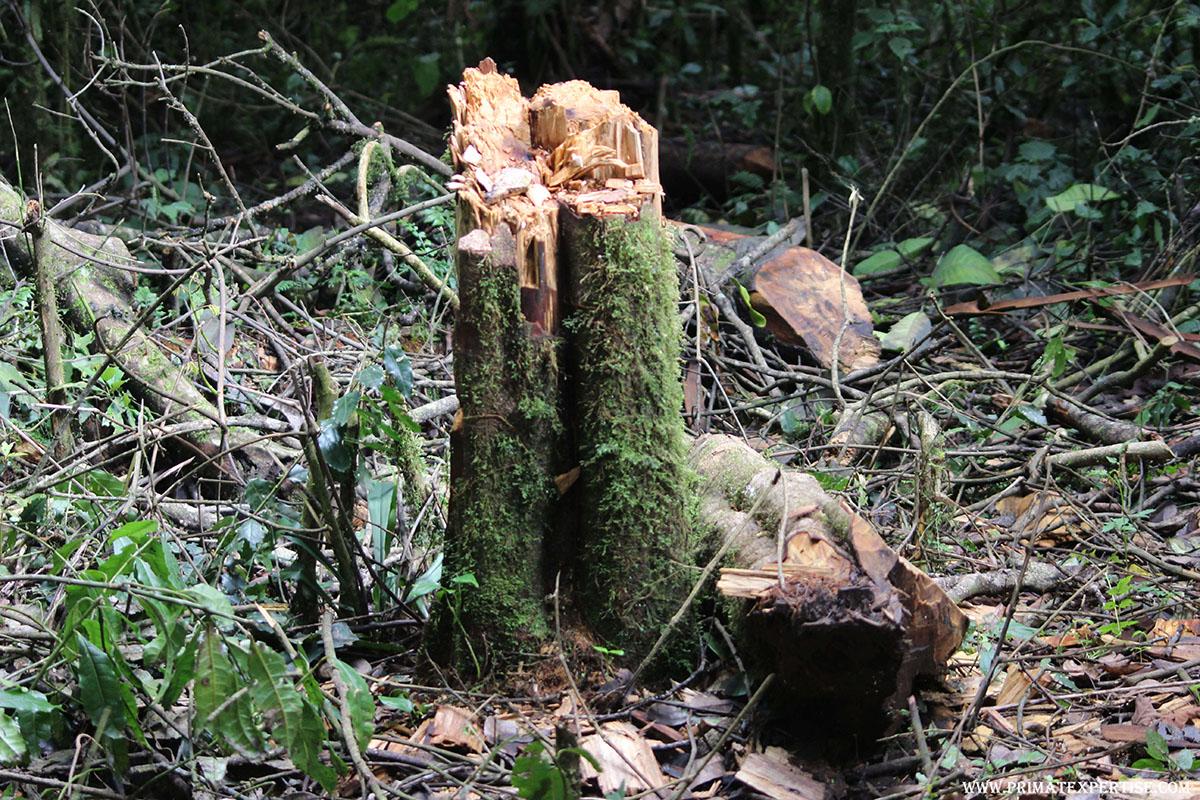 La destruction impittoyable de l'habitat naturel du Gorille de Grauer par les activités illégales au Parc National de Kahuzi-Biega