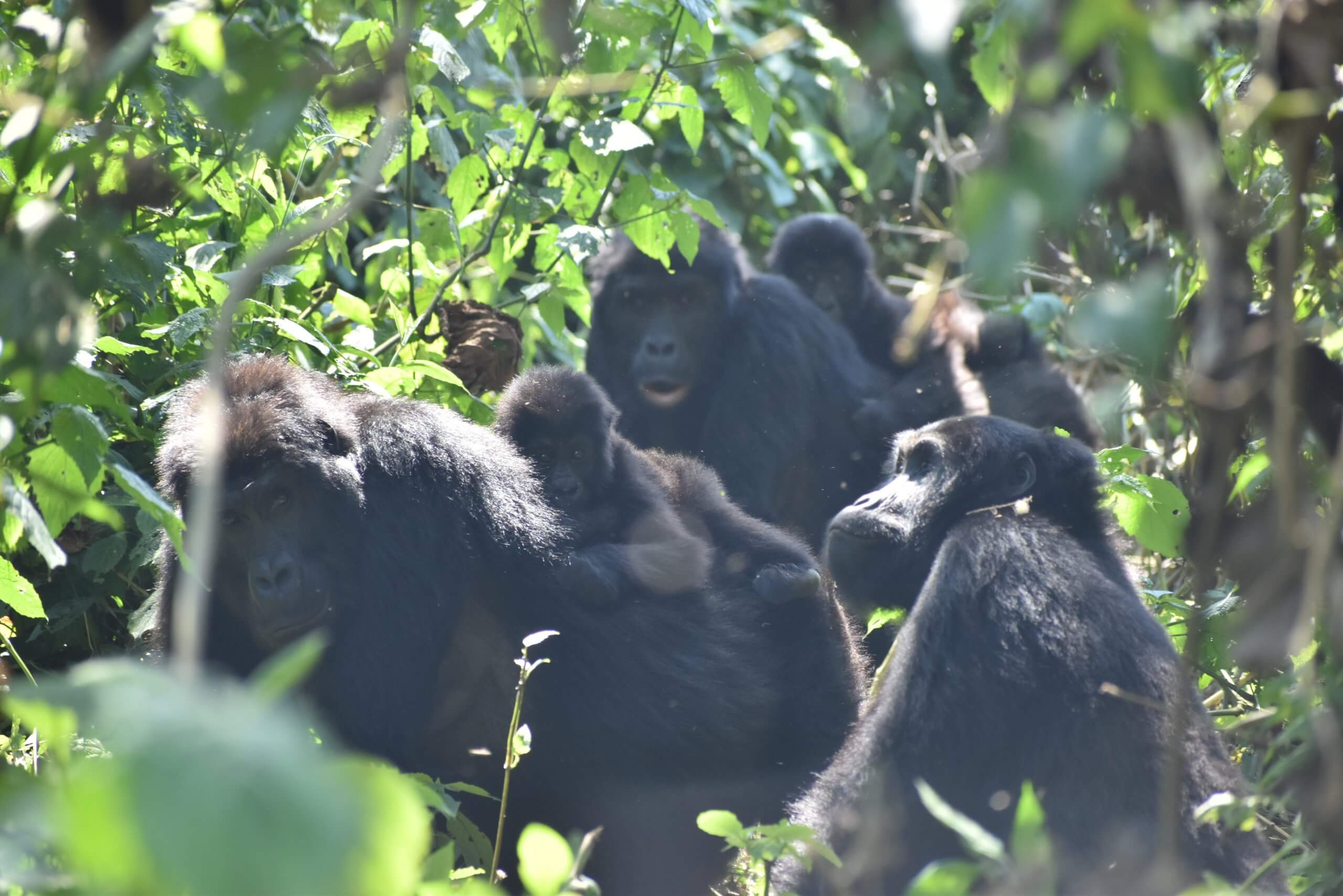 Adult females of Mpungwe familly with their offsprings, Primate Expertise@2021