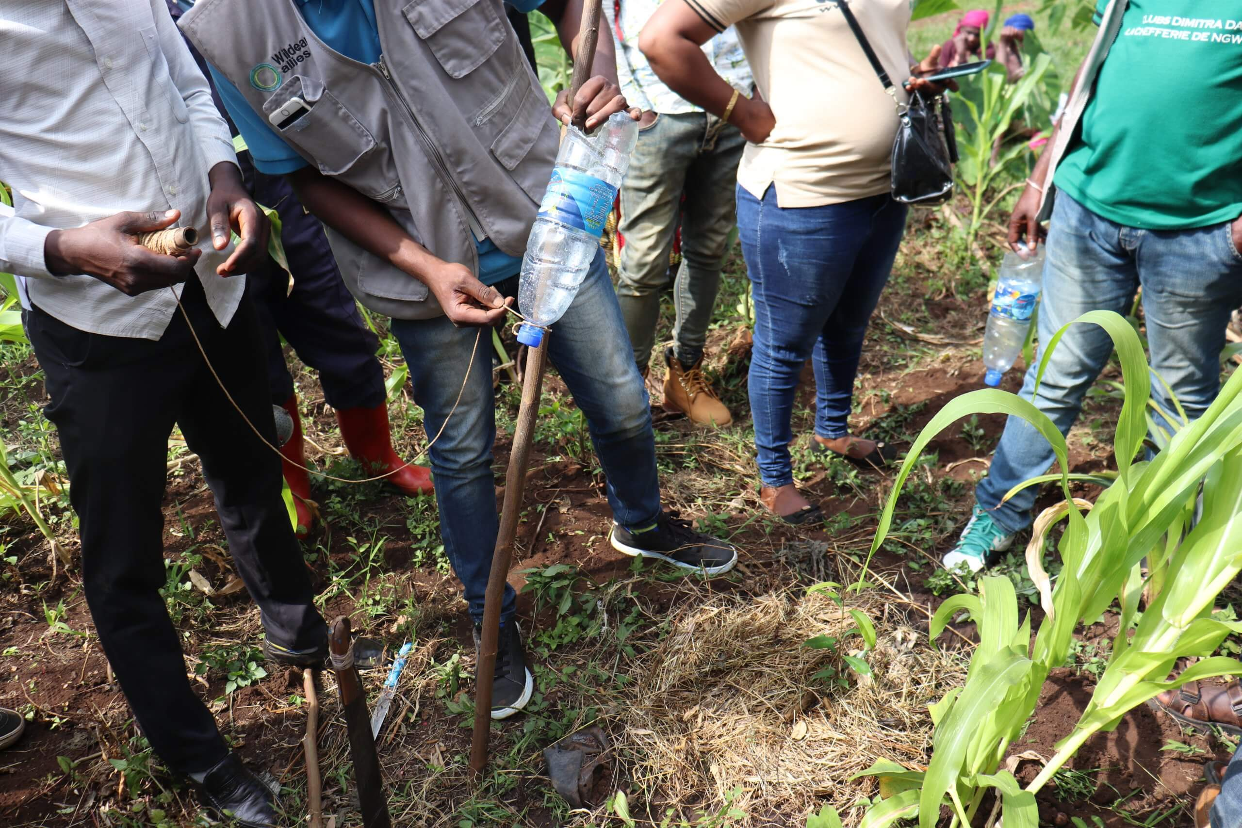 Watering and mulching technique for our commuties bordering Kahuzi Biega National Parc; a way of avoiding effects of dryness on planted ape trees